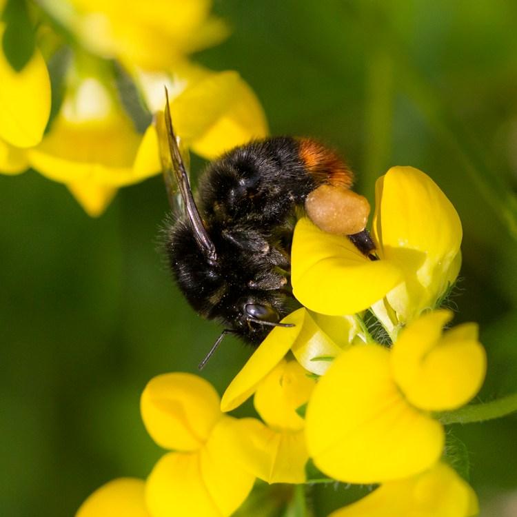 Pollen Basket bee leg corbicula macro