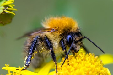 pollination , bumble bee, common carder bee, insect , macro
