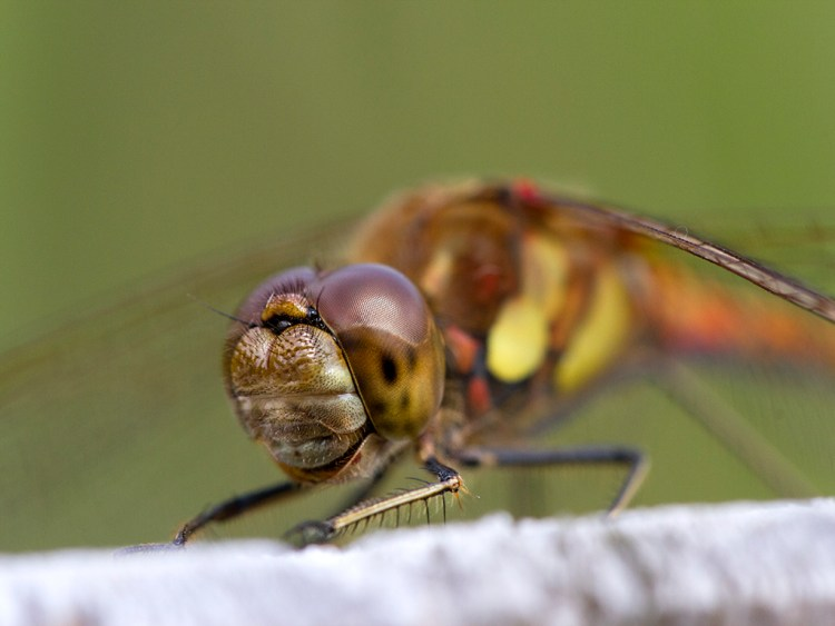 Common Darter Smile macro dragonfly