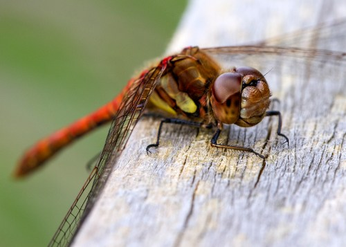 Common Darter dragonfly Monday macro insect