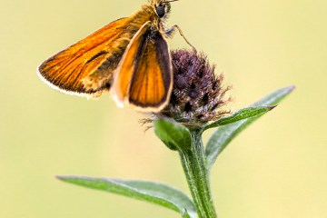 Small Skipper Butterfly © HelenBushe macro monday Myers Allotment