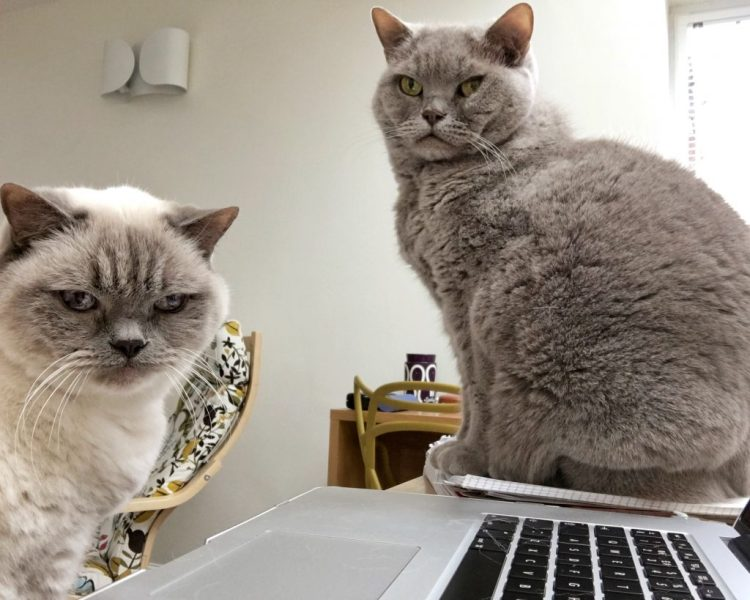 My HelpersMisty Bluejohn British Shorthair Cats