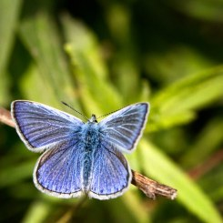 Common Blue butterfly at Brockholes