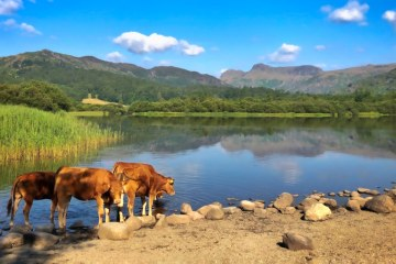 Elterwater, Lake District, Silent Sunday, landscape, cows