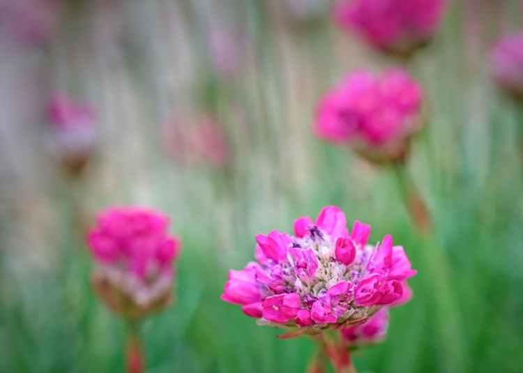 Sea Pinks in the Garden