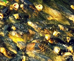 Now this was something I had not expected to see - a writhing mass of huge koi fish - where was I? Versailles, in Marie Antoinette's sweet little faux-farm. Battling for a little boy's breadcrumb offerings. they made the oddest gulping noises as they tried to grab the bread - it was so unusual, I had to take a picture.