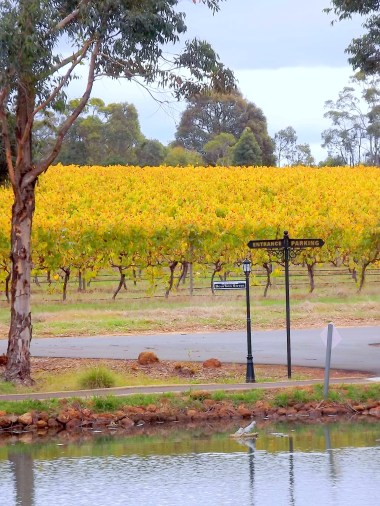 A yellow field in Margeret River (Western Australia) made a wonderful, eye-catching sight!