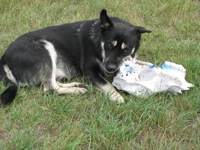 Montana dogs choose to chew skulls, not bones (Hinsdale, Montana) Photo credit: Helen Holter