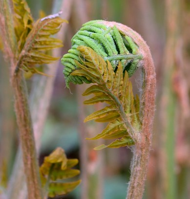 single unfurling fern.. shy?