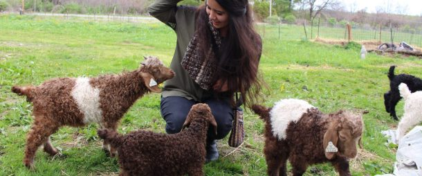 Surrounded by Angora Kids at the Laughing Goat Fiber Farm Open Farm Day, 2016