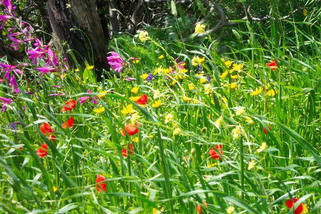 The wild flowers of Western Crete