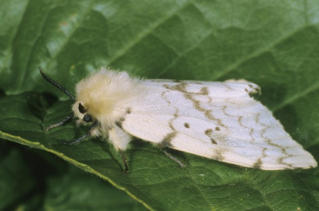 Meet theLymantria dispar, as this moth will now be known until a new common name is finalized.