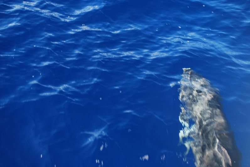 A dolphin on our way to Molokini
