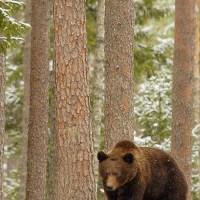 Bear, Wood