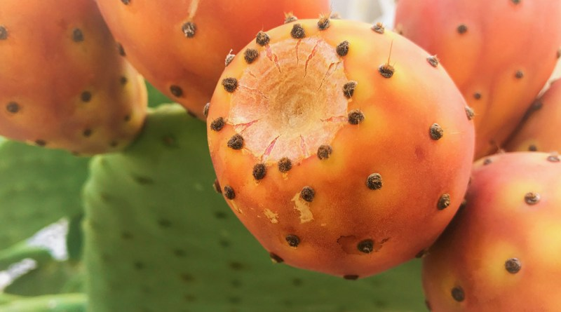 Handle with care: prickly but very healthy cactus fruit