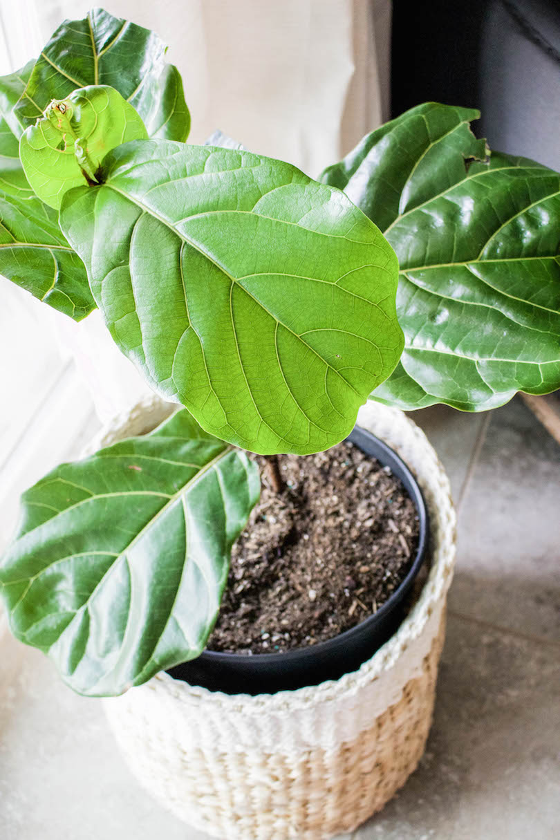 10 tips on how to care for a fiddle leaf fig