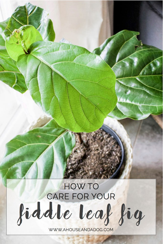 Top 10 Tips for Caring for a Fiddle Leaf Fig