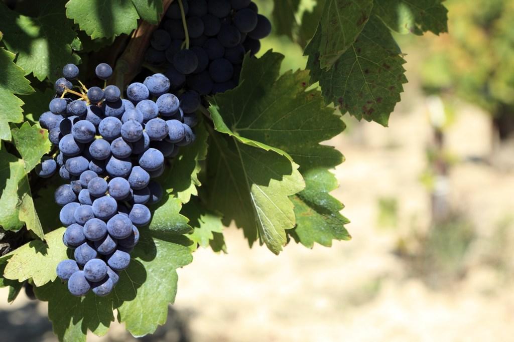 Sommelier o kalabryjskich winach