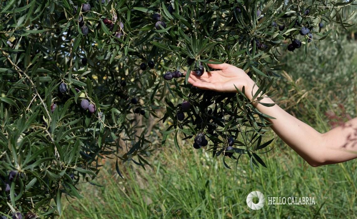 olive nere, czarne oliwki w Kalabrii
