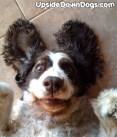 kira-english-springer-spaniel-dog