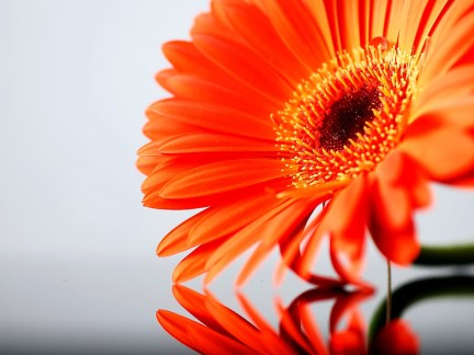 orange-daisy