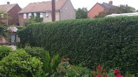 The hedge after being cut
