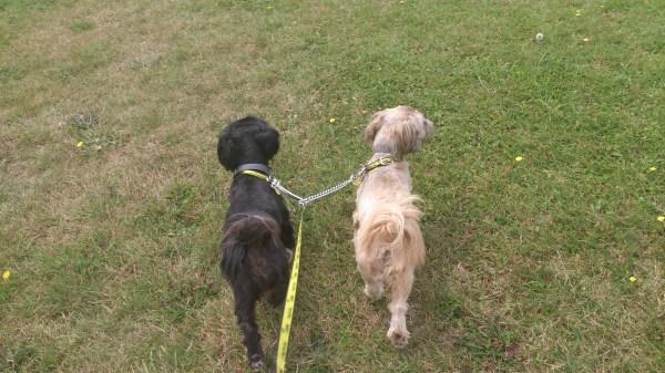 Misty and Maisy on a walk