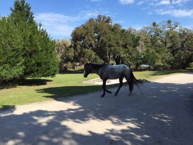 Wild horses roaming Cumberland Island