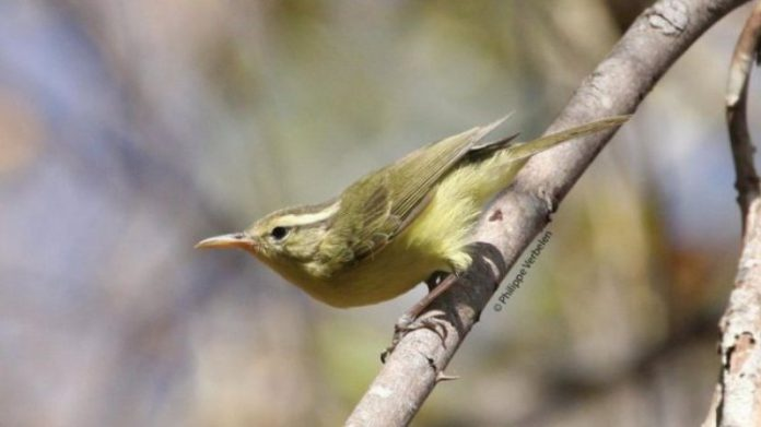 Rote Leaf-Warbler (Phylloscopus rotiensis) is found on Rote Island and has a characteristic long beak. (Photo: www.eurekalert.org)