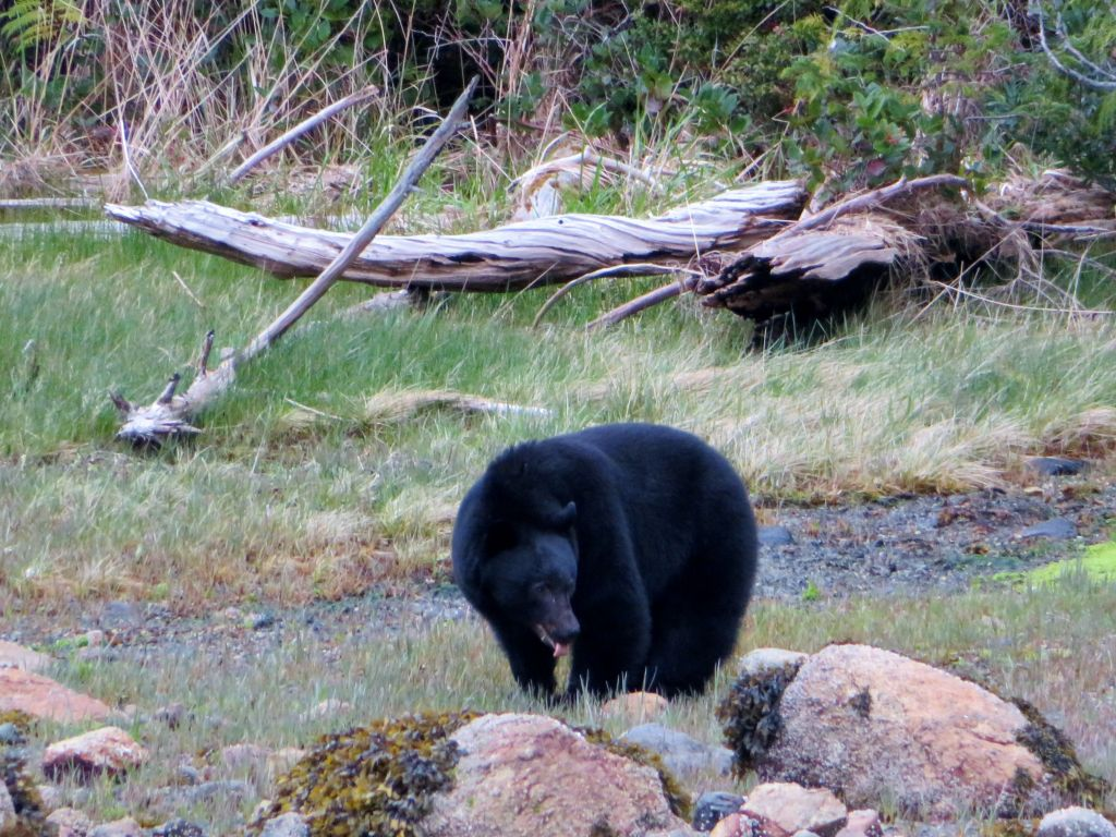 Bear Watching Tofino