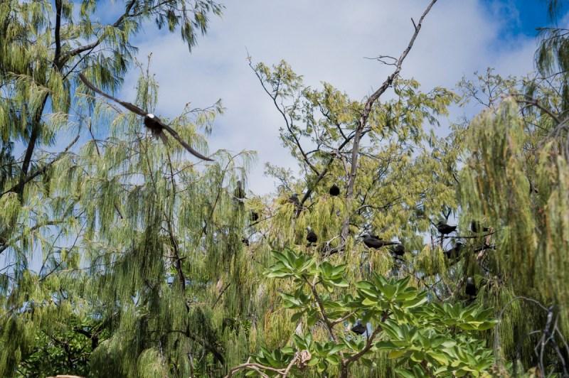 oiseaux dans les arbres à lady musgrave