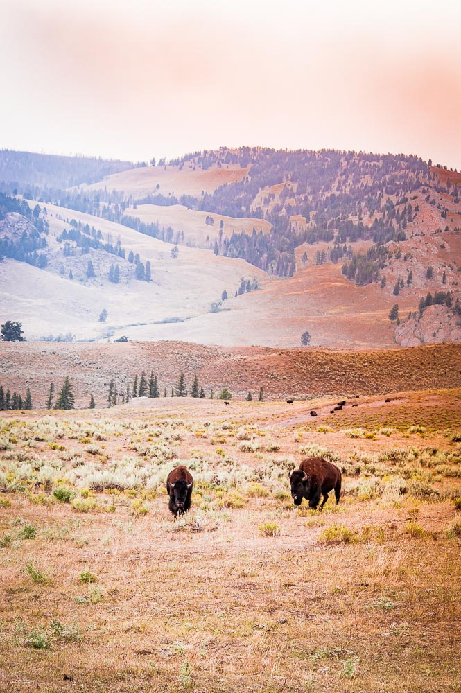 couple de bison dans Lamar Valley