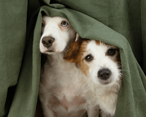two anxious dogs hiding under a blanket