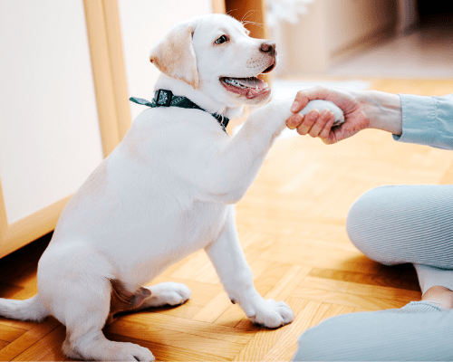 yellow labrador puppy shaking hands with a person