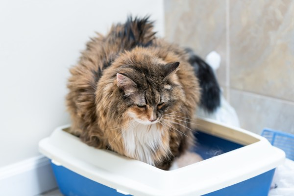 overweight calico maine coon cat