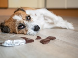 chocolate can kill dog featured image