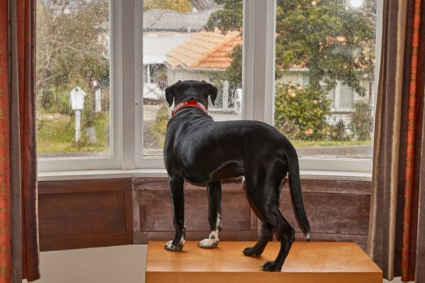 dog looking out window waiting his owner