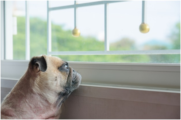 cute pug puppy dog looking out from window