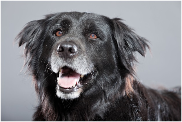 old flatcoated retriever dog in front of grey background