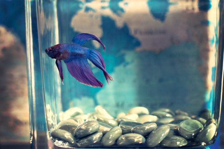 focus of blue betta fish in small jar filled with water