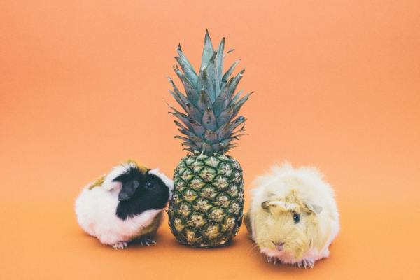 two guinea pigs eating pineapple fruit