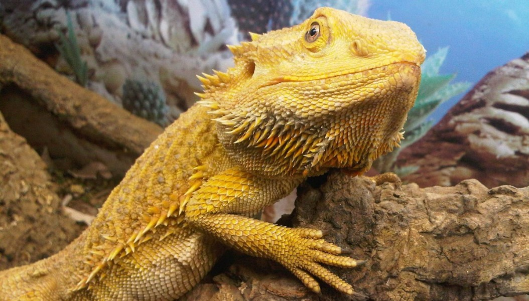 caring for a pet lizard featured image