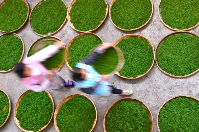 Tea Pics: Picking & Processing Chinese Tea