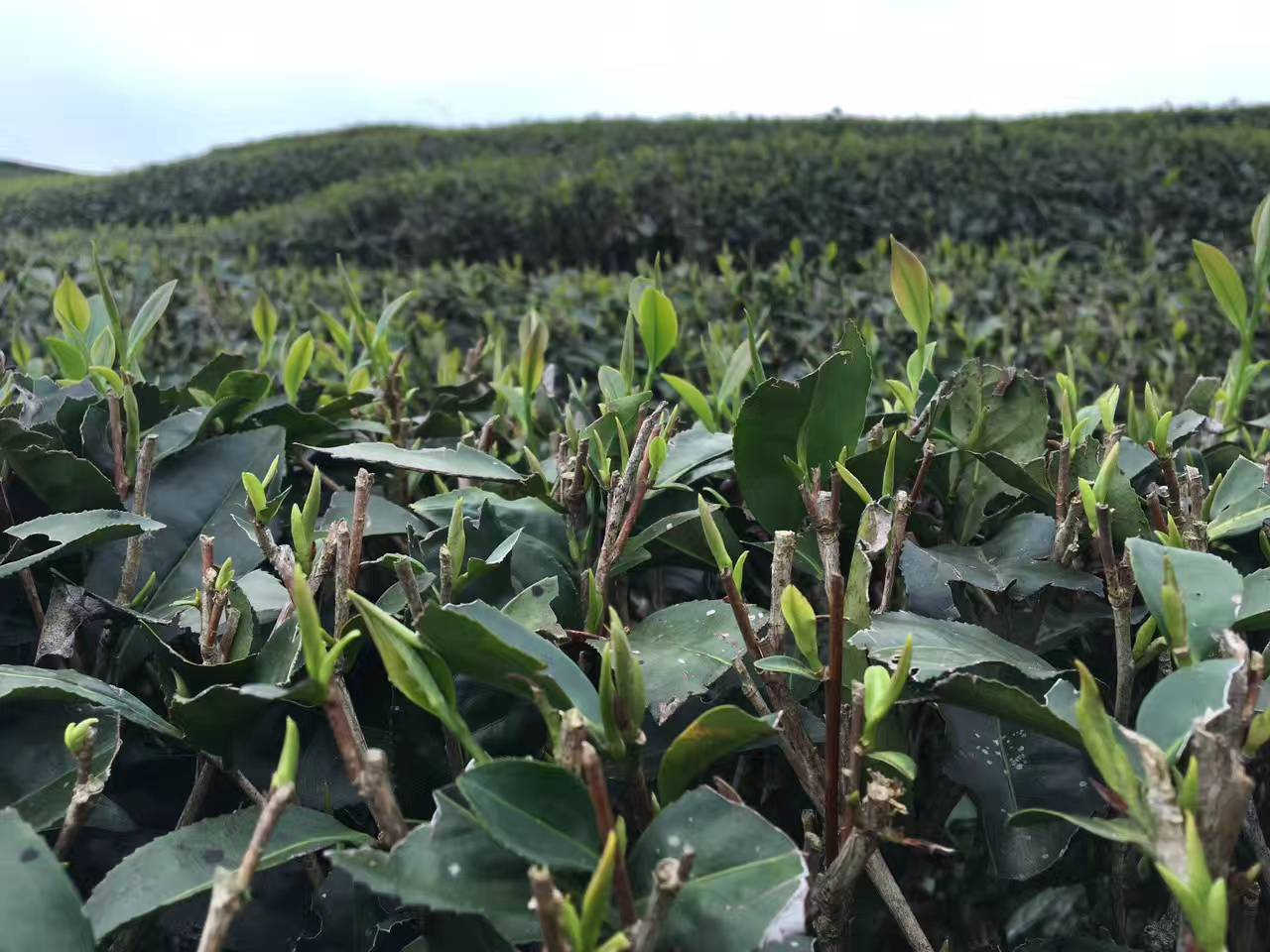 8 Dental Health Benefits of Drinking Green Tea