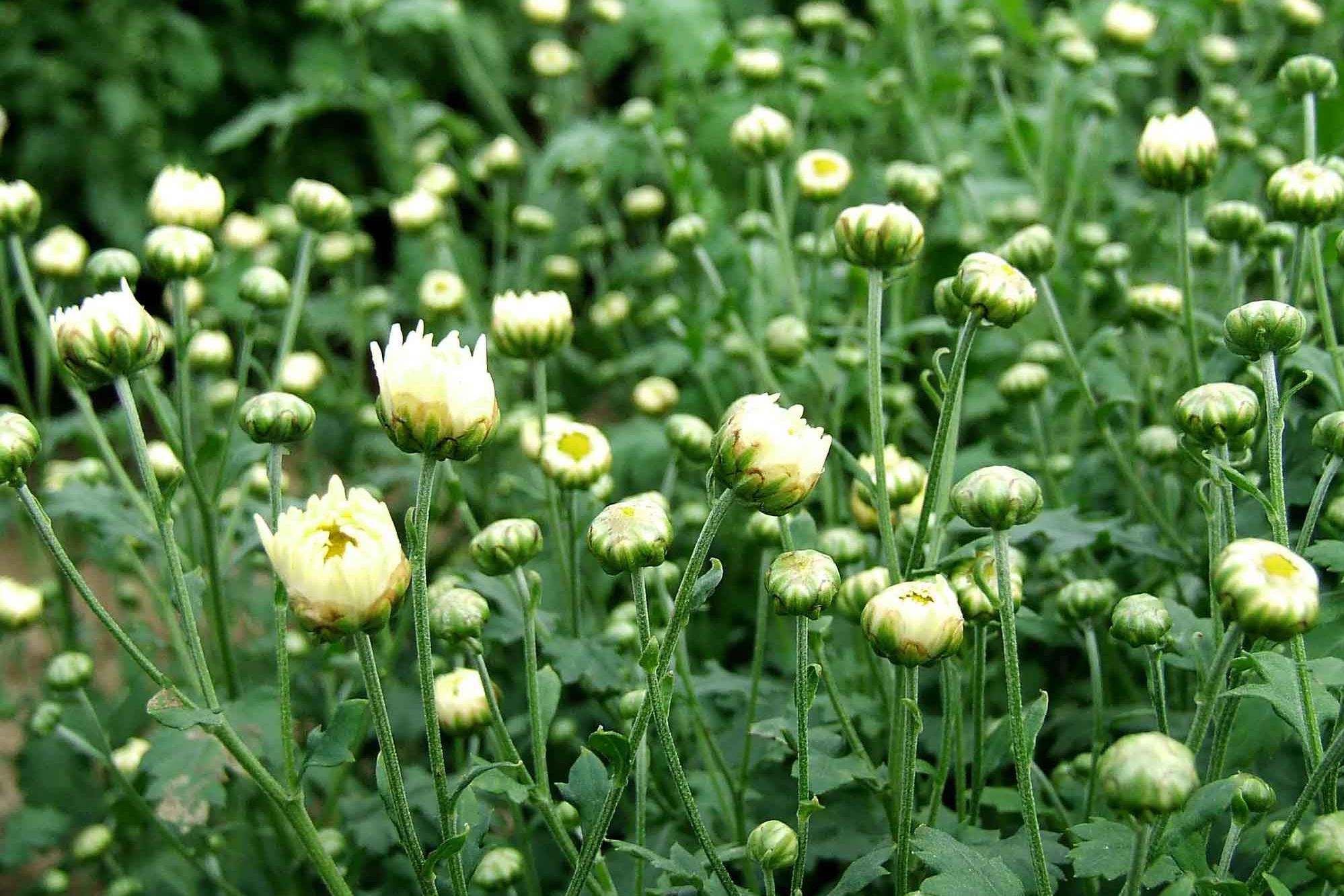 WhyChrysanthemumTeaisGoodforSkin