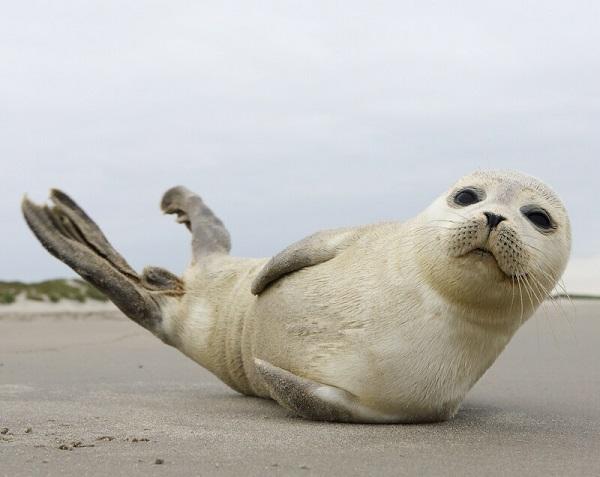 Zeehonden op Terschelling
