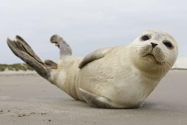 Zeehond strand Texel