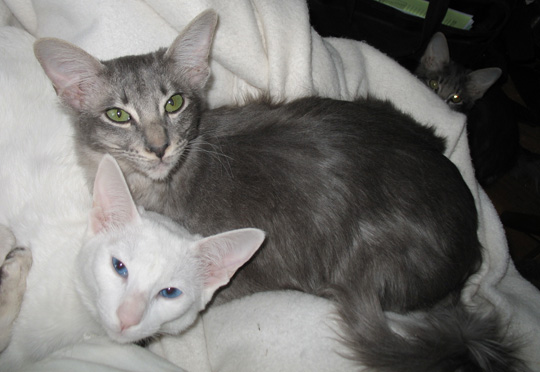Synergy Kittens And Cats Available