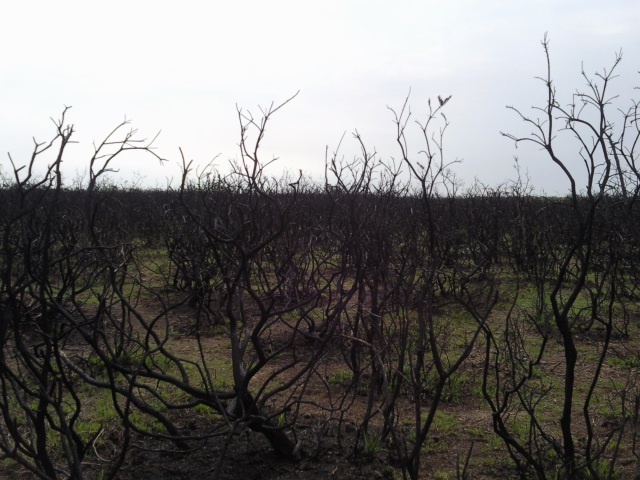Gorse bushes burnt by a wildfire