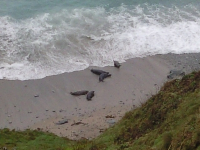 Grey seals on a beach as seen from the cliff top